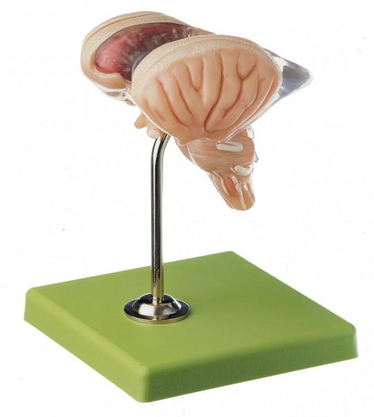 8-teiliges Hirnstammmodell