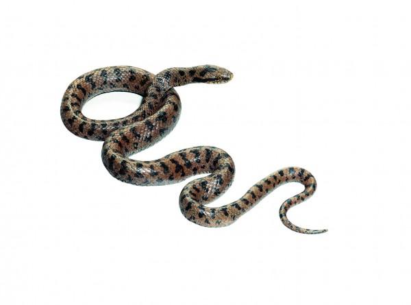 Glatt- oder Schlingnatter, Männchen
