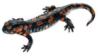 Gefleckter Feuersalamander, Männchen, rote Varietät