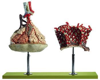 Lungenläppchen mit Zusatzmodell Lungenalveolen