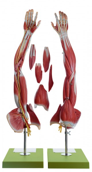 Muskelarm mit Schultergürtel