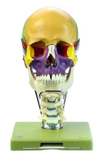 18teiliges Schädelmodell mit Halswirbelsäule und Zungenbein