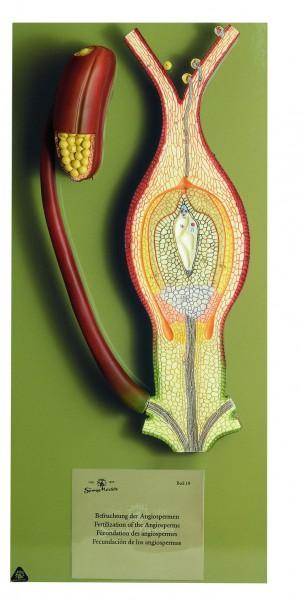Befruchtung der Angiospermen