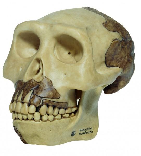 Schädelrekonstruktion von Homo erectus