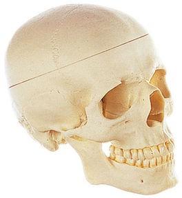 Künstlicher Homo-Schädel, Somso