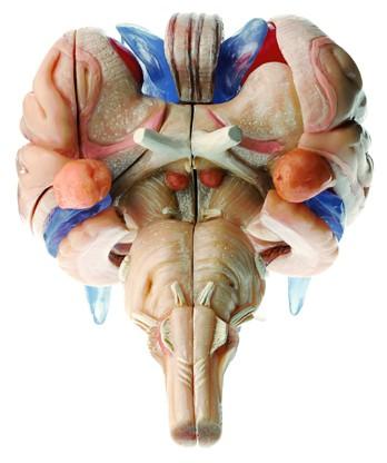 12-teiliges Hirnstammmodell