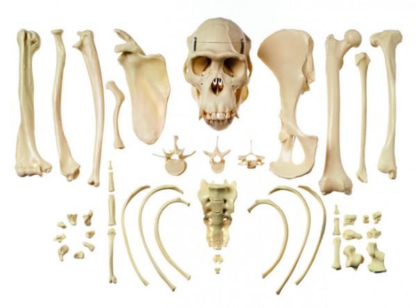 Sammlung typischer Knochen vom Schimpansen