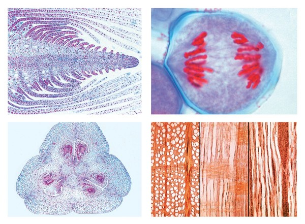 Blütenpflanzen (Phanerogamae), Ergänzungsserie, 50 Präparate, Erweiterung von Serie 2800