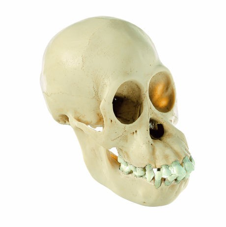 Orang-Utan-Schädel, jugendlich