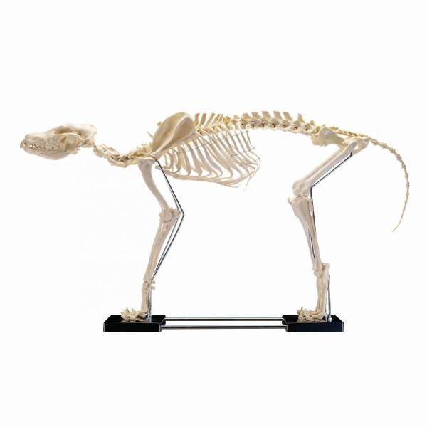 Hundeskelett groß