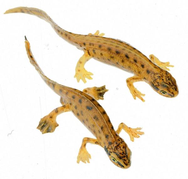 Fadenmolch, Männchen und Weibchen in Wassertracht