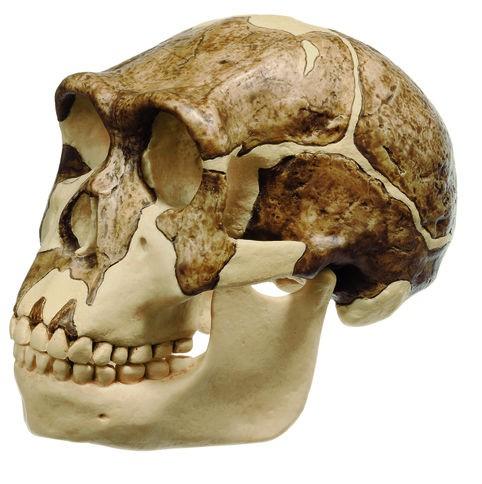 Schädelrekonstruktion von Homo ergaster (KNM-ER 3733)