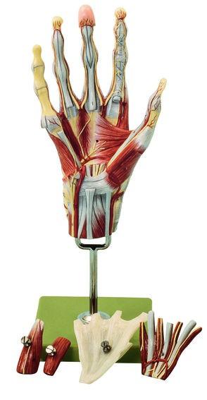 Muskelhand mit Unterarmansatz