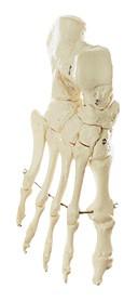 Fußknochen, montiert