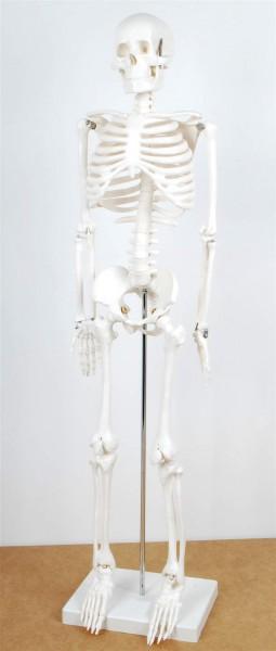 Menschliches Skelett - Modell, halbe Größe