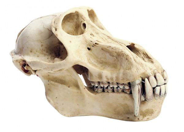 Pavian-Schädel