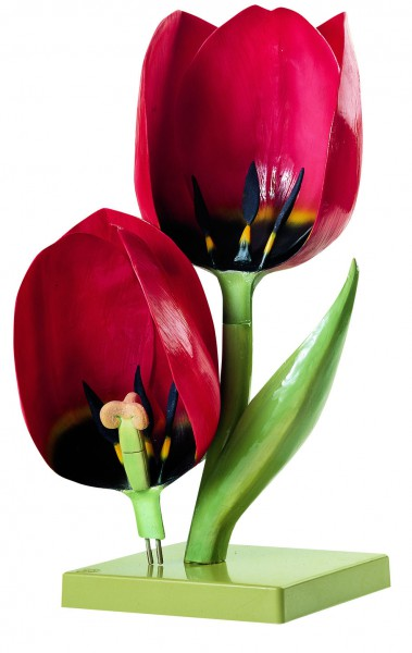 Gartentulpe, Blüte