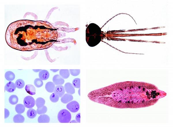 Parasitologie. Kurzserie - 25 Präparat. Einheimische und tropische Parasiten des Menschen und d