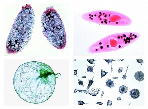 Einzeller (Protozoa), 10 Präparate