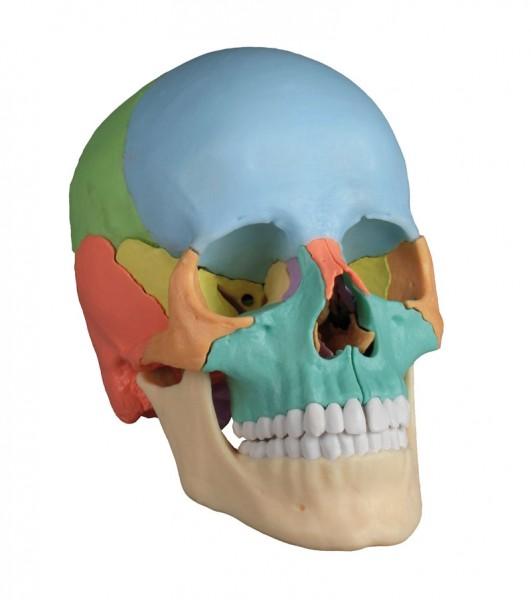 Osteopathie Schädelmodell