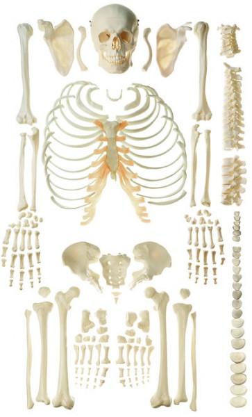 Unmontiertes Homo-Skelett