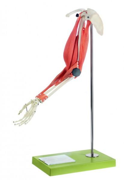 Muskelfunktion am Ober- und Unterarm
