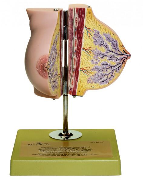 Brustdrüse in ruhendem Zustand