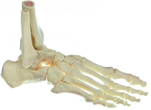 Fuss-Skelett, rechts (bewegliche Gelenke)