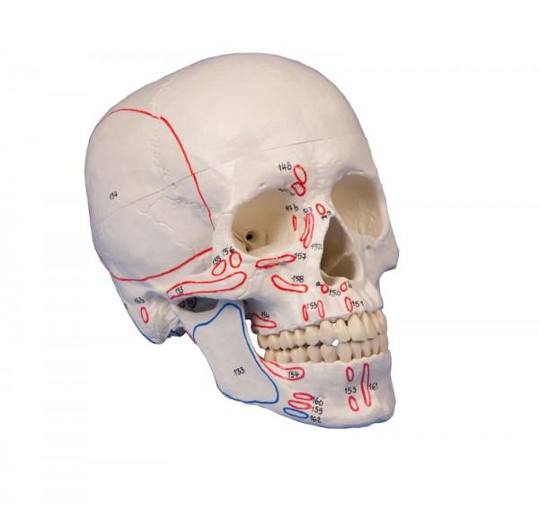 Schädelmodell, 3-teilig mit Muskelmarkierungen