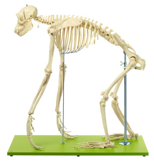 Schimpansenskelett