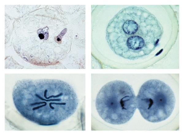 Eireifung und Befruchtung beim Pferdespulwurm (Ascaris megalocephala), 10 Präparate