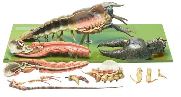 Fluss- oder Edelkrebs