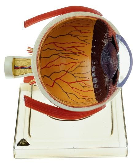 Rechte Augenhälfte auf Sockel