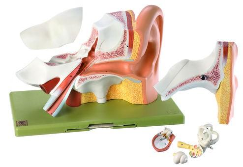 Gehörorgan