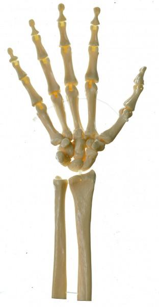 Handskelett (bewegliche Gelenke)