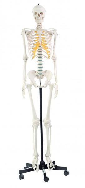Künstliches Homo-Skelett, weiblich