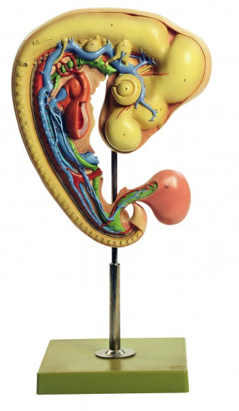 Hühnerembryo nach ca. 4tägiger Bebrütung