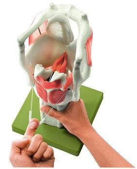 Funktionsmodell vom Kehlkopf