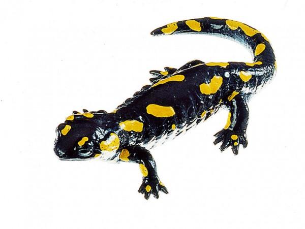 Gefleckter Feuersalamander, Weibchen