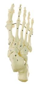 Fuss-Skelett (Drahtmontage)