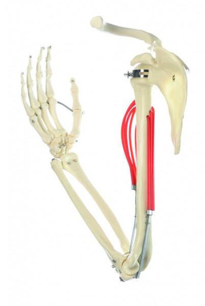 Muskelfunktion am Oberarm