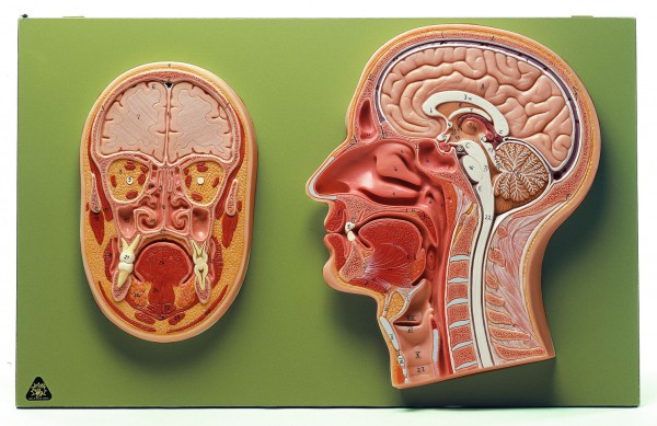 Median- und Frontalschnitt vom Kopf