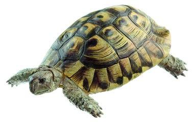 Griechische Landschildkröte, Männchen