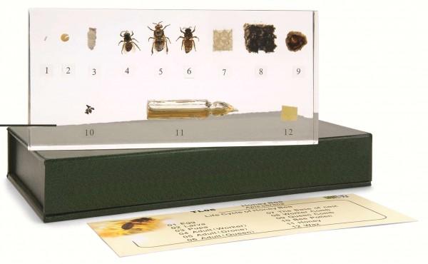aus dem Leben der Honigbiene