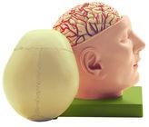 Basis des Kopfes