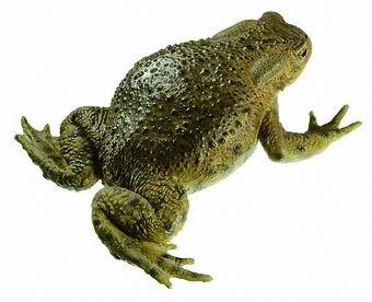Erdkröte, Weibchen