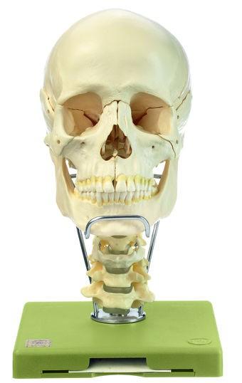 18teiliges Schädel-modell mit Halswirbelsäule und Zungenbein