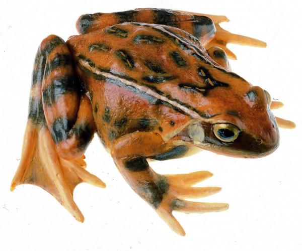 Grasfrosch, Weibchen
