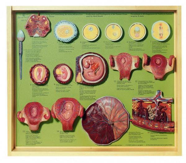 Befruchtung und Entwicklung des menschlichen Eies bis zum 3. Monat