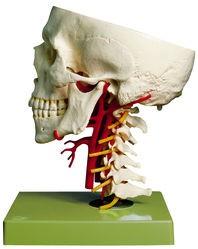 Schädelbasis mit Arterien